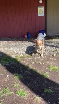 Dusty, an adoptable Australian Cattle Dog / Blue Heeler Mix in West Townshend, VT_image-1