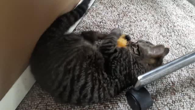 Bosley & Charlie Tabby Twin Kitties, an adoptable Tabby in New York, NY_image-1