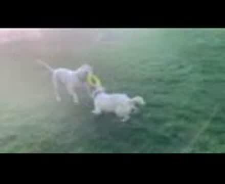 George, an adoptable Australian Cattle Dog / Blue Heeler Mix in Hoffman Estates, IL_image-1